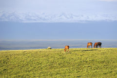 Grassland with snow mountains Stock Images