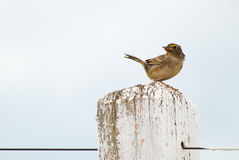 Grassland Sparrow. Ammodramus humeralis - Emberizidae stock images