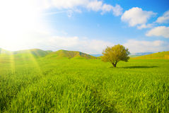 Grassland and sunray. Green landscape with isolated tree and sunray royalty free stock images