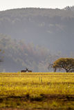 Grassland of Swaziland with two Blesboks, Mlilwane Wildlife Sanctuary Royalty Free Stock Image
