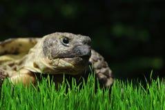 Grassland tortoise Royalty Free Stock Image