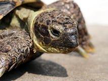 Grassland tortoise Royalty Free Stock Photography