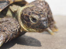 Grassland tortoise Royalty Free Stock Photo