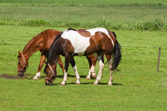 Grassland with two grazing horses Royalty Free Stock Photos