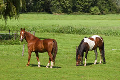 Grassland with two horses Stock Image