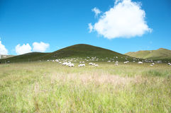 Grassland under. Blue sky and white clouds ,the sheep take a walk on the grass Stock Photo