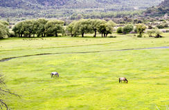 Grassland in wetland. Two horses in a grassland near mountain with trees Royalty Free Stock Images