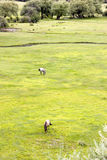 Grassland in wetland. Two horses in a grassland near mountain with trees Stock Images
