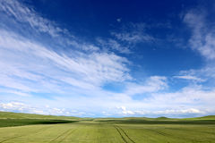 Grassland and wheat. In the grassland on the land of wild flowers, blue sky, white clouds, beautiful. In this world, I feel especially comfortable, beautiful sky Royalty Free Stock Images