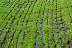 Grassland which slurry is injected. Royalty Free Stock Photography