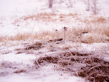 Grassland in winter. Detail from a typical central european grassland and shrub habitat in winter. With a stem of St John wort (Hypericum perforatum) in the Royalty Free Stock Photography