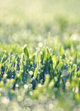 Grassland With Dew Drops Royalty Free Stock Photo