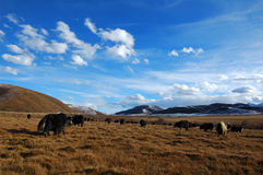 Grassland and yak stock image