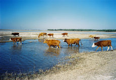 Grasslands. Herds of cattle roamed at will over the plain Stock Image