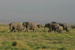 Grasslands of the African elephant in Kenya Royalty Free Stock Image