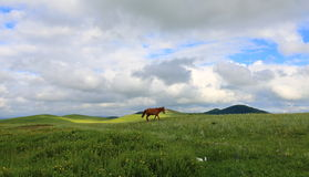 Grasslands in Inner Mongolia China. Hexigten Banner and Saihanba is a beautiful grasslands in Inner Mongolia China. Horses and flowers Royalty Free Stock Image