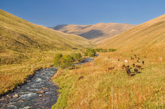 Grasslands in Kyrgyzstan. Scenic valley with herd of livestock in green grasslands in Kyrgyzstan Stock Photo