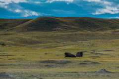 Grasslands National Park Bison Royalty Free Stock Photo
