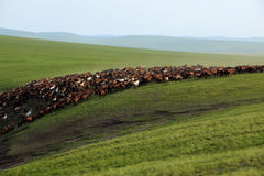 Grasslands, valleys, rivers, horses. Grassland valley cuhk group of horse in the migration Stock Photos