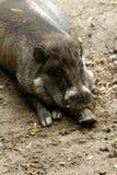 Grasso piccolo piggy Fotografia Stock Libera da Diritti
