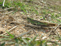 Grassopher. Grasshopper laying in its natural habitat Stock Images