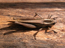 Grassopher. Grasshopper laying in its natural habitat Royalty Free Stock Image