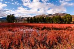 Grasspot del rojo de Daocheng Fotografía de archivo libre de regalías