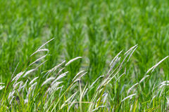 Grassprieten Stock Foto