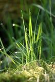 Grassprietje met ochtenddauw Stock Fotografie