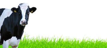 Grassprietjes met koe Stock Foto