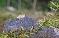 Grassquit Amarelo-enfrentado em uma rocha Foto de Stock Royalty Free