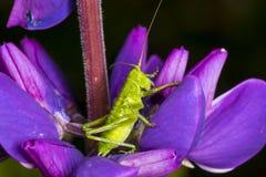 Grassshopper Royaltyfri Fotografi