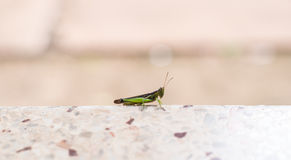 Grassshopper royalty-vrije stock afbeelding