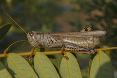 Grassshopper. A grasshopper on a twig basking in the early morning sun Royalty Free Stock Image