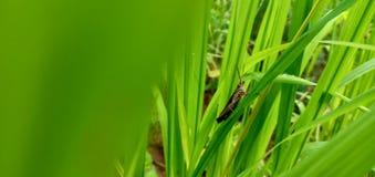 Grassshopper in natuurlijk land royalty-vrije stock afbeelding