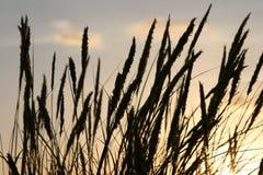 Grasstiele silhouettiert Lizenzfreie Stockfotografie