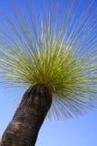 Grasstree Fotografia de Stock