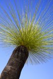 Grasstree Stock Photography