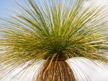 Grasstree Xanthorrhoea, Australien Stockbild