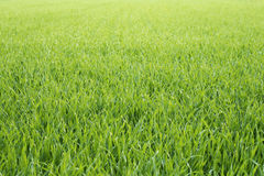 Grassy background Royalty Free Stock Photography