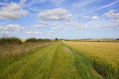 Grassy bridleway and barley Royalty Free Stock Images