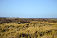 Grassy dunes. View of grassy dunes under clear blue sky at Horsey, Norfolk Stock Image