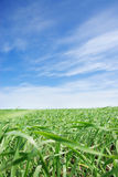 Grassy field Royalty Free Stock Image