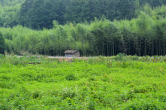 Grassy field and bamboo forest. A small building in front of a bamboo forest at the edge of a field in Moganshan located in Zhejiang Province China Stock Image