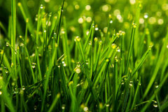 Grass and dew drops. A beautiful grass field with early morning dew drops. The sun is faintly shining onto the green ground giving a nice yellowish tone Stock Photography
