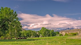 Grassy field and trees with cows farm Royalty Free Stock Photo