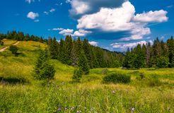 Grassy fields and spruce forest in summer. Lovely mountainous scenery in good weather Royalty Free Stock Image