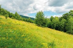 Grassy forest glade on the hill in summer. Wild flowers and herbs among the tall grass.  high deciduous trees around. nature scenery with cloudy sky royalty free stock photography