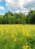 Grassy forest glade on the hill in summer. Wild flowers and herbs among the tall grass.  high deciduous trees around. nature scenery with cloudy sky stock photo