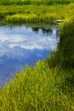 Grassy Freshwater Marsh Stock Photos